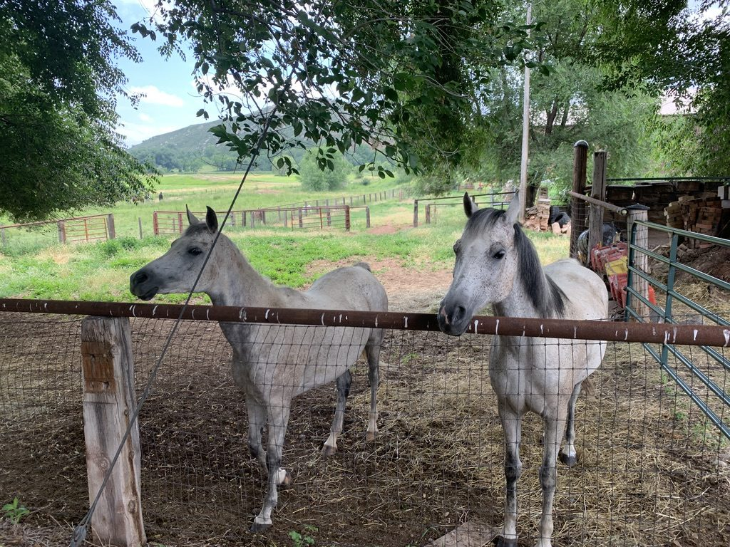 Two mostly white horses look warily at the photographer from behind a metal fence.